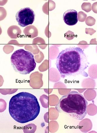 Lymphocytes in various species | eClinpath