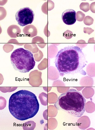 Lymphocytes In Various Species Eclinpath