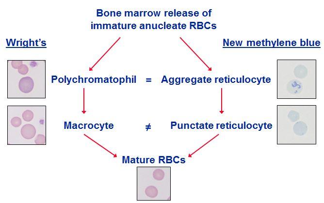 function of methylene blue solution in blood smear