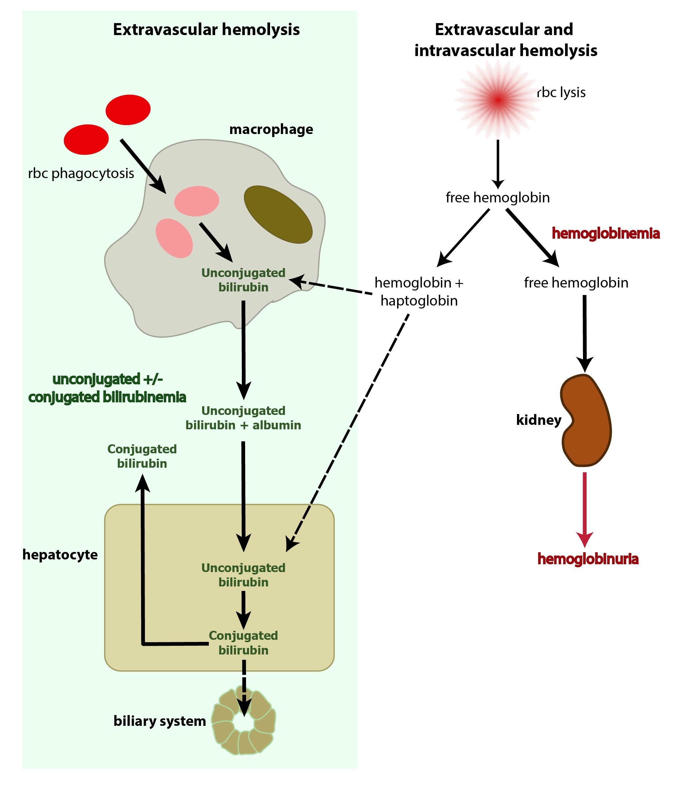 hemoglobin i urin
