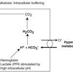 Cell response to respiratory alkalosis
